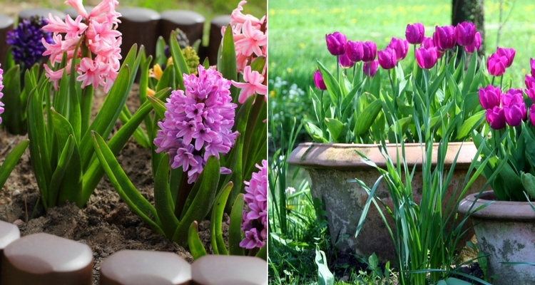 Hyacinths and Tulips in the Garden